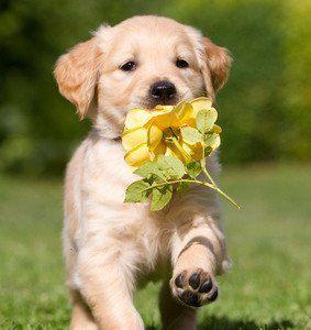 Golden Retriever Welpe mit Blume läuft über Wiese