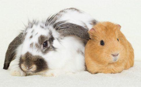 weiß- graues Kaninchen und hellbraunes Meerschweinchen
