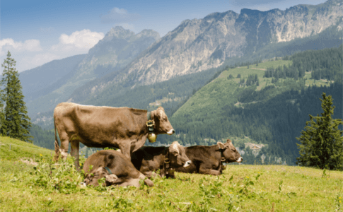 Kühe auf einer Weide mit Bergpanorama